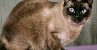 siamese cats life span