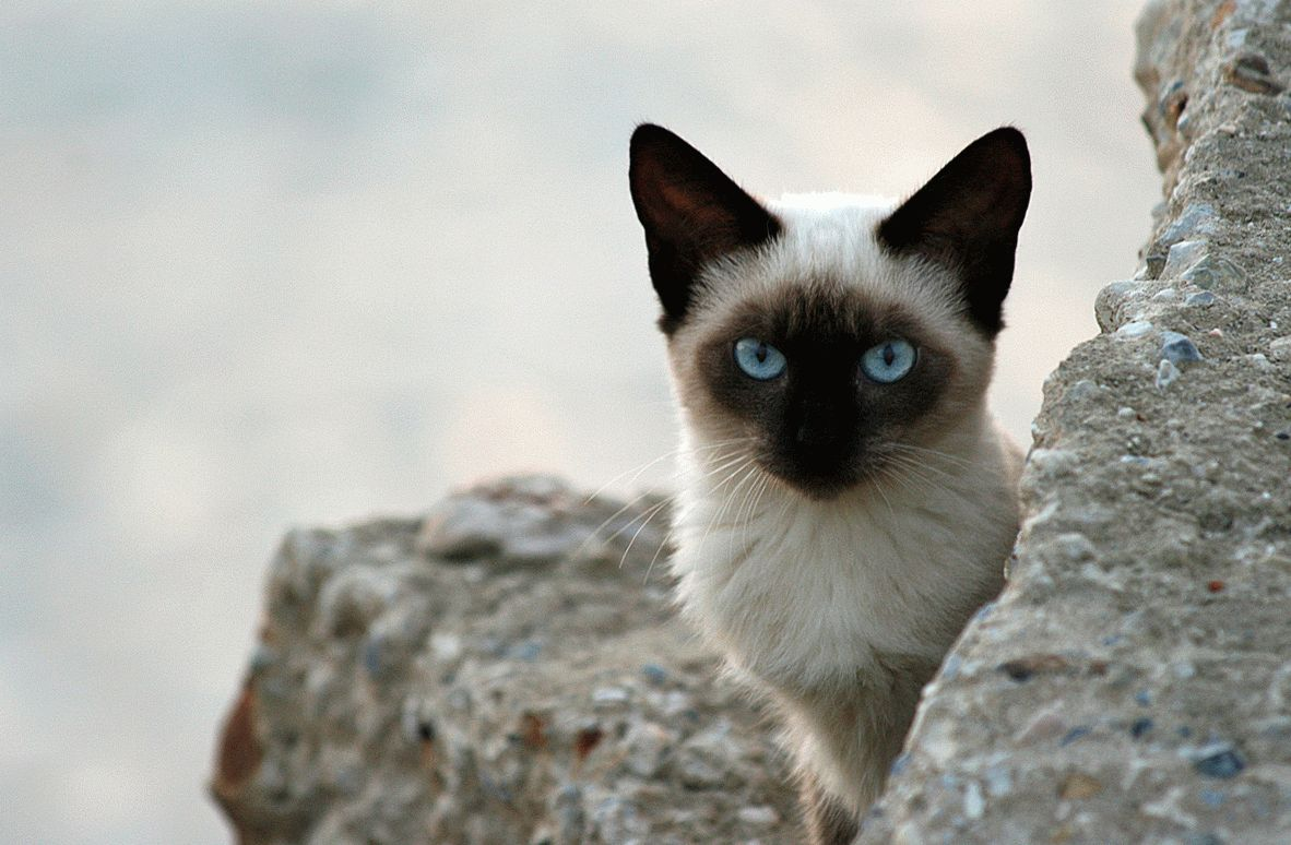 What You Should Know About Siamese Cats 1