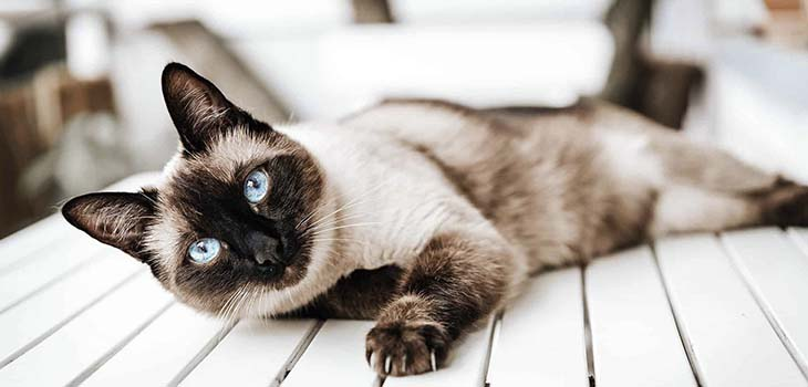 Common Health Disorders Among Siamese Cats