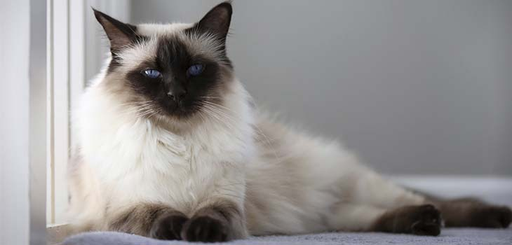 How to Choose a Siamese Cat Groomer