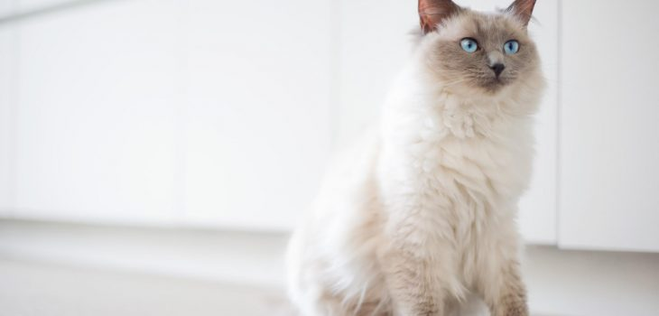 How to Choose an Excellent Cat Breeder