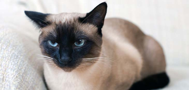 What Makes Siamese Cats Become Anorexic?