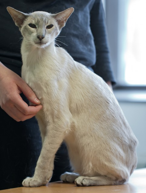 anorexic siamese cat