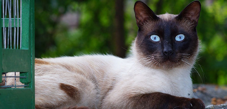 What You Should Know About Siamese Cats
