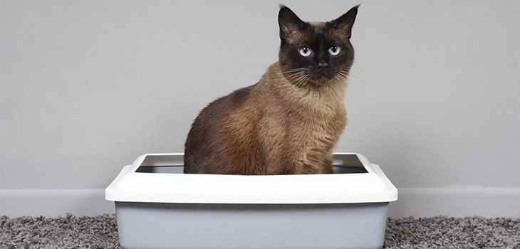 How to Choose a Litter Box for Your Siamese Cat