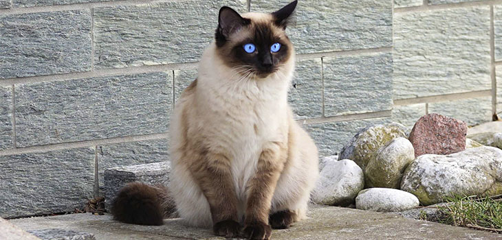 Siamese Cats Lifespan: How Long Do Siamese Cats Live?